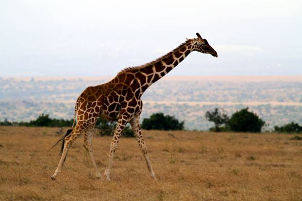 Safari: Sichtung einer Giraffe